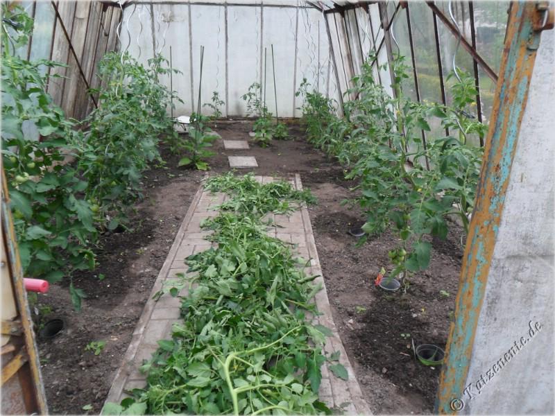 tomaten ausgeizen