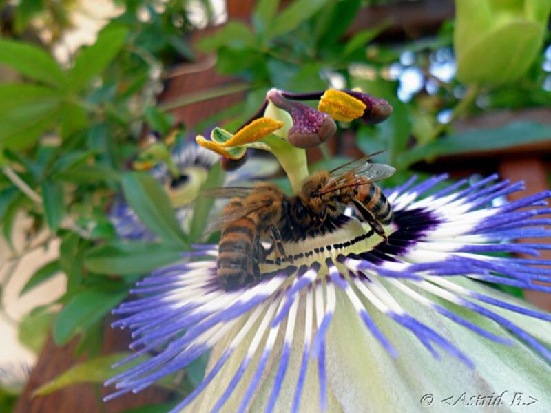 Passionsblume mit Bienen